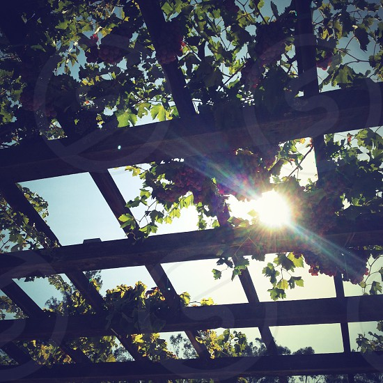 Grape vines drape a trellis.  Napa Valley CA UsA photo
