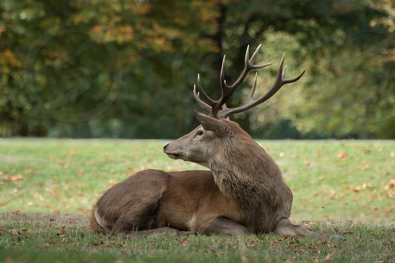 Young male red deer resting during the rutting season photo