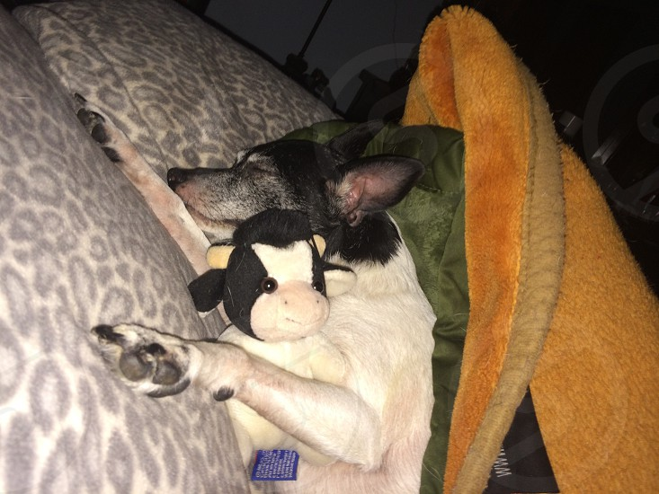 """My rat terrier sleeping with his """" Mr. Moo"""" photo"""
