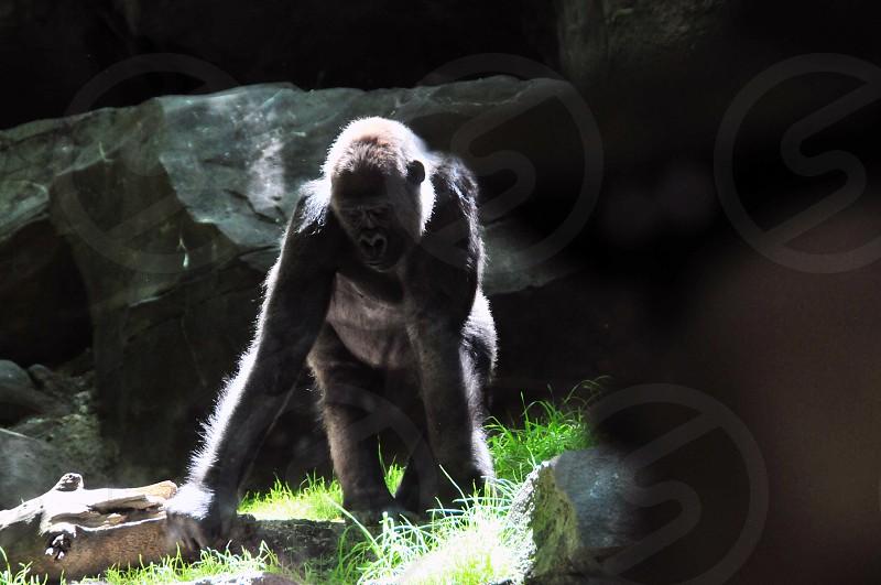 gorilla light mammal grass sunlight animal photo