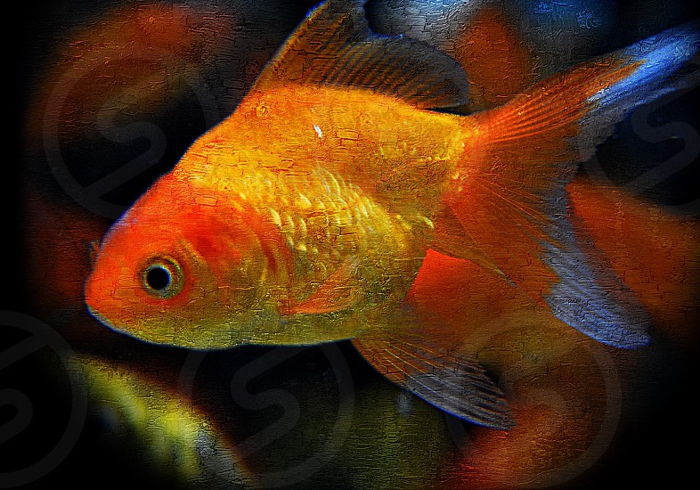 Finnegan - a multi toned orange goldfish with white tipped fins. photo