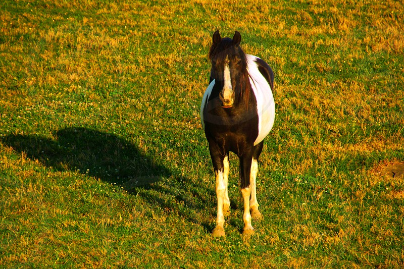 white and black horse standing on grass photo