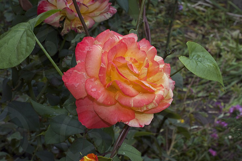 nice colorful rose in my garden photo