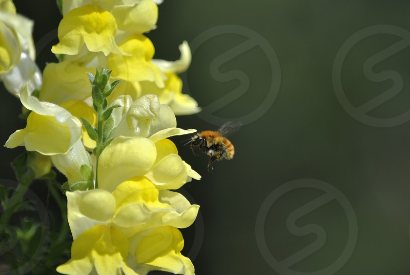 honeybee on yellow flowers photo