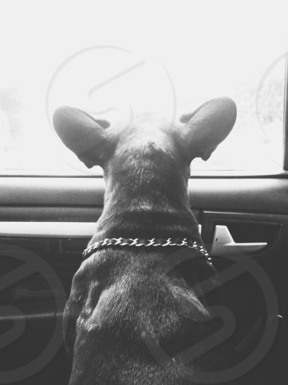 bulldog car black white ears photo
