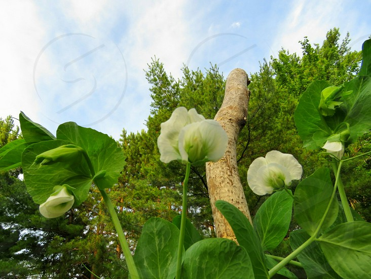 The white blossoms of the pea plant. Backyard garden created to provide organic vegetables.  The stick from a poplar tree with the bark removed by a local beaver used to hold the vines as they climb toward the blue skies. Wispy clouds hang in limbo by the tall pine trees in the background of this landscape photo.  The view from the ground toward the sky. photo