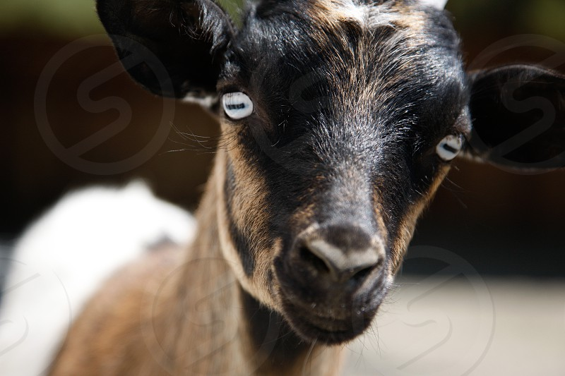 brown and black goat photo