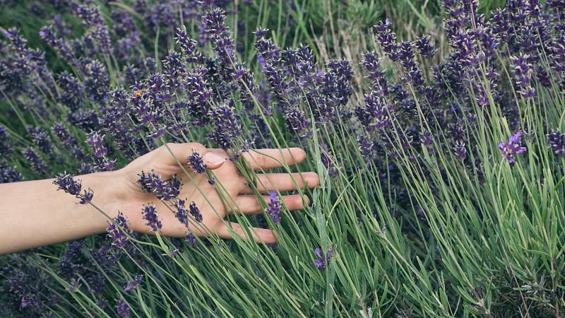 person running hand through purple flowers photo