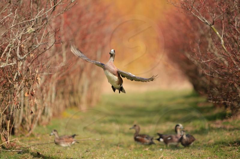 American Wigeon photo
