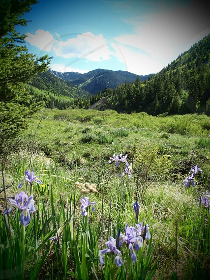 purple irises near green grass field with forest-covered mountains in the background vignette photography photo