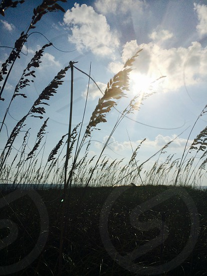 Sunlight through the seagrass on Dauphin Island. Sun light sea grass beach sand silhouette  photo