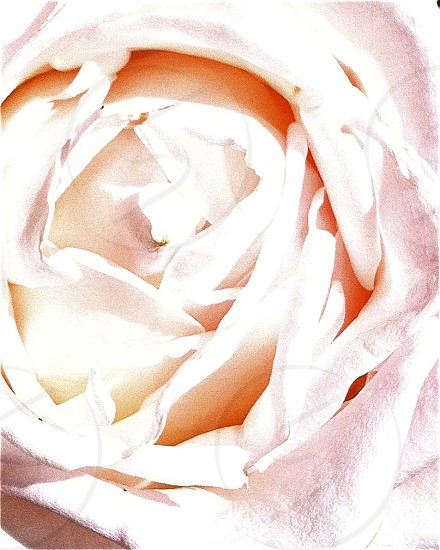 Roses are Pink photo