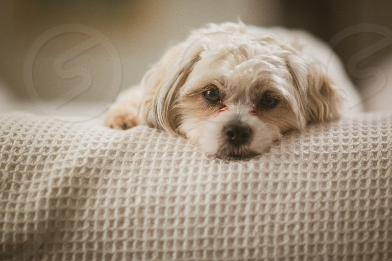 A tired dog lays on a bed. photo