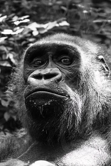 Gorilla Zoo Portrait Animals photo