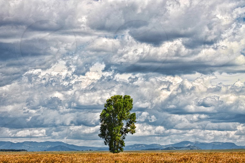 A lone tree stands in a golden field near distant mountains under a cloudy sky photo