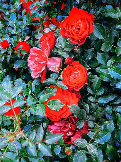 close up photo of red rose flowers photo