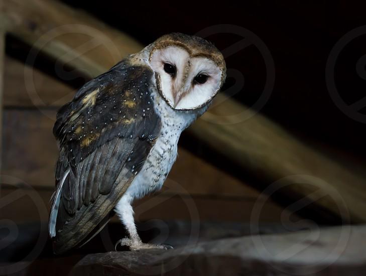 Owl barn owl wildlife animal bird night dark wild alert wise smart photo