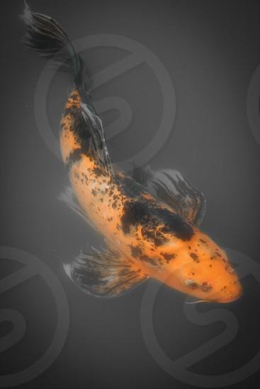 koi fish orange and black photo