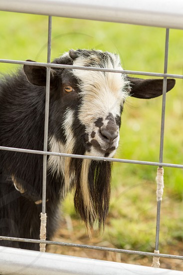 A goat framed by fencing photo