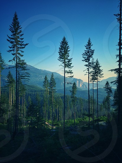 high pine trees on a mountain photo during daytime photo