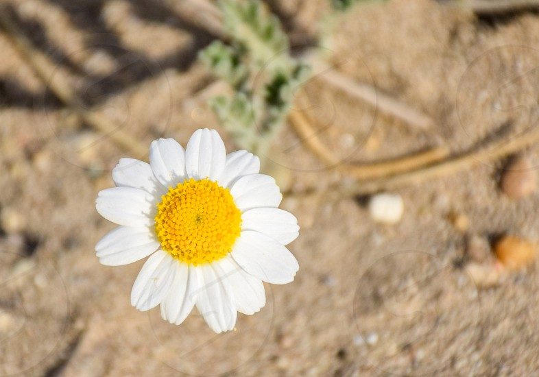 Daisy White Flower photo
