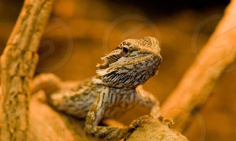 Australian native lizard photo