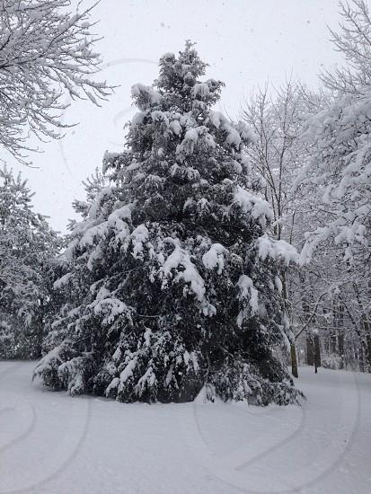 Snowy evergreen photo