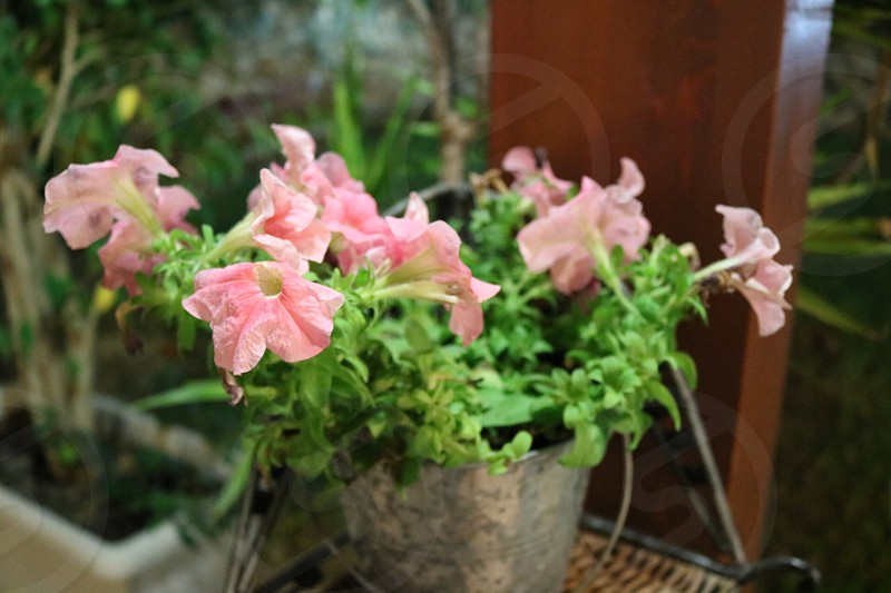 potted pink petunia flowers in closeup photo photo