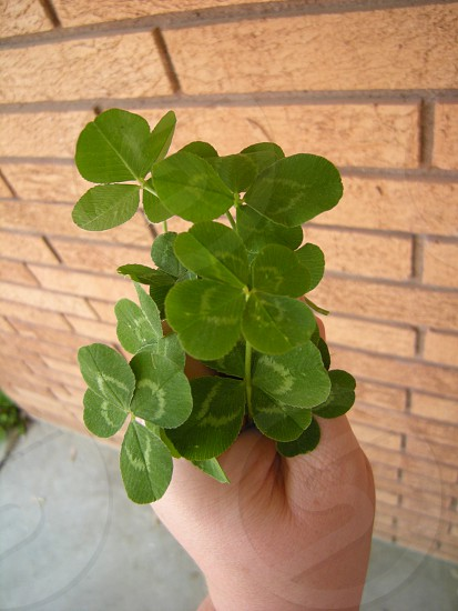 Handful of four leaf clover photo