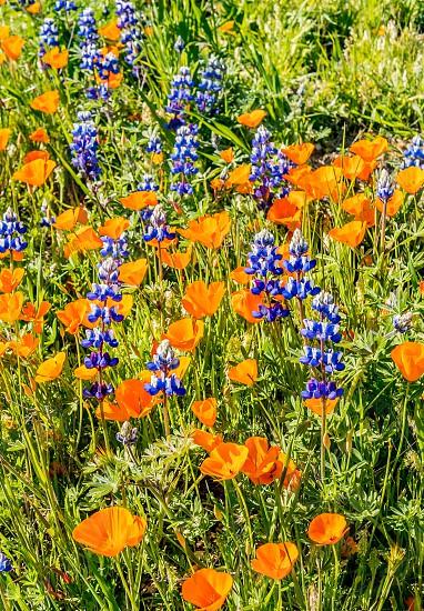 Spring flowers poppies California  photo