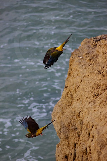 two blue and yellow parrots flying under the beach photo