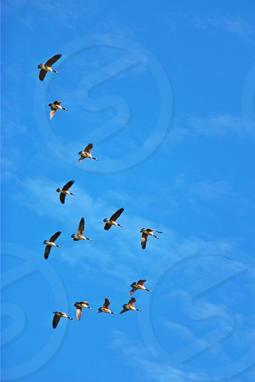 perspective blue skies geese flocking geese upstate new york photo