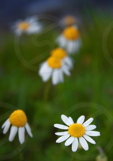 Flower daisy camomile green summer macro photo