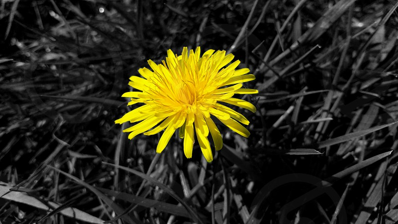 yellow flower on the gray grass photo