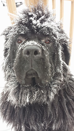 Black snow dog photo