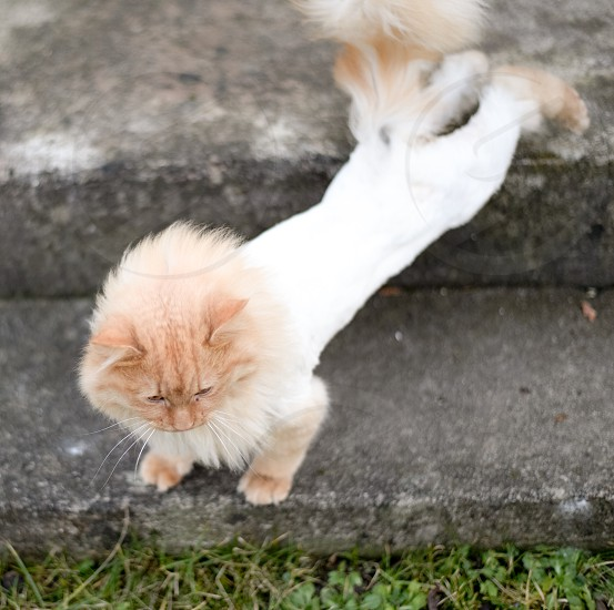 shaved orange and white tabby long-hair cat stretching on gray stone steps photo