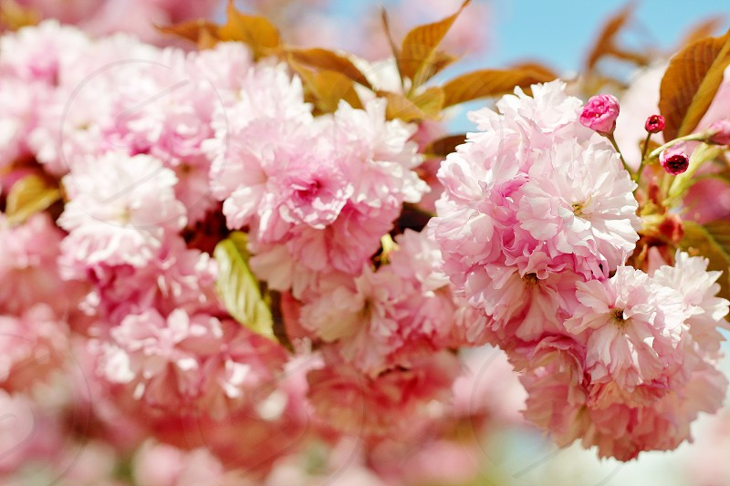 Fully in bloom pink cherry blossoms on spring day. photo