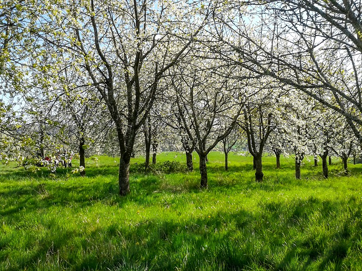 Cherry trees in bloom in France. (Fougerolles - Haute-Saône) These cherry trees are at the origin of a strong alcohol called kirsh. photo