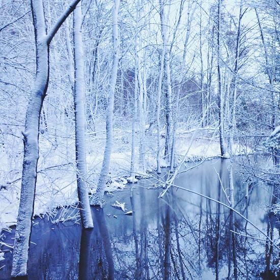birch tree photography photo
