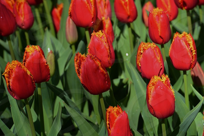 Tulips on fire in the springtime. photo