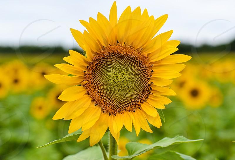 Sunflowersunflowersflowerflowersfieldnaturegardensummeryellow photo