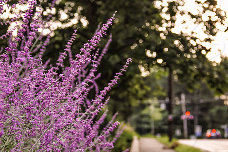 flowerflowersvioletpurplestreetgardengardeningstreetcarsbokehtowntreetreesnaturegrassgreen photo