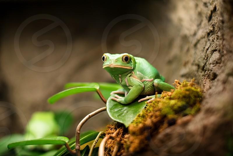 Green Waxy Monkey Tree Frog. photo