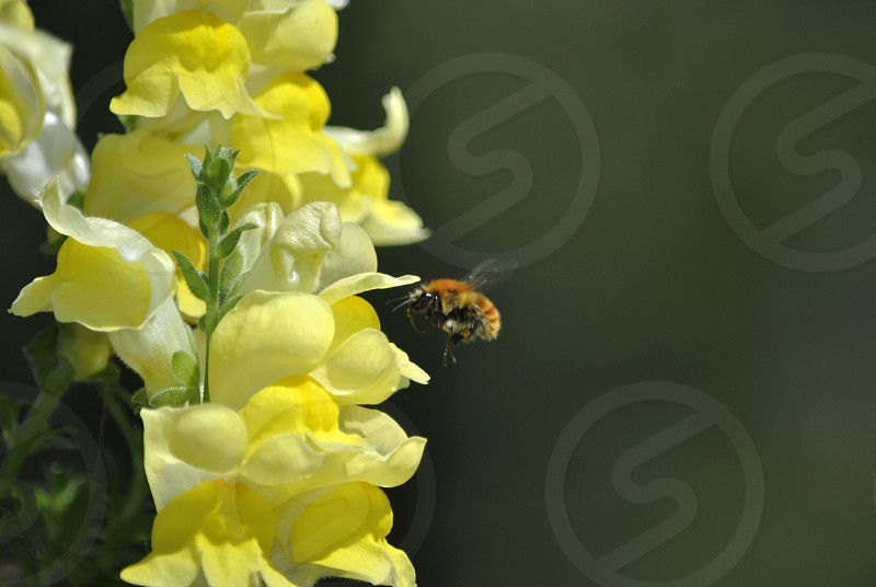 bee hovering near yellow flowers photo
