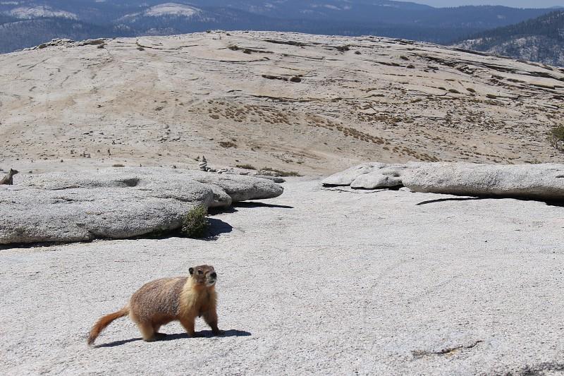 Half dome Yosemite marmot  photo