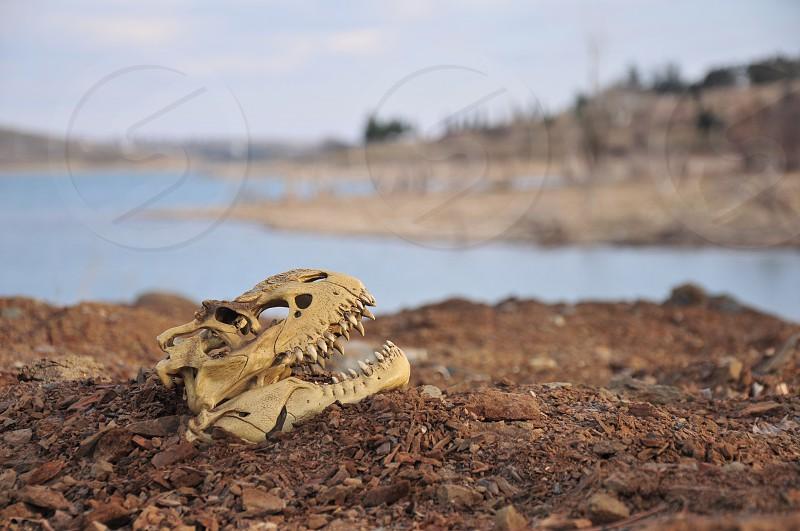 white animal skull on brown dirt photo