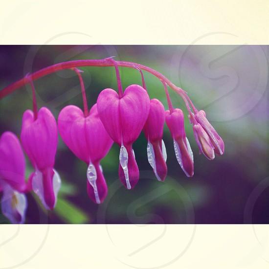 Purple heart shaped danging flower stem photo