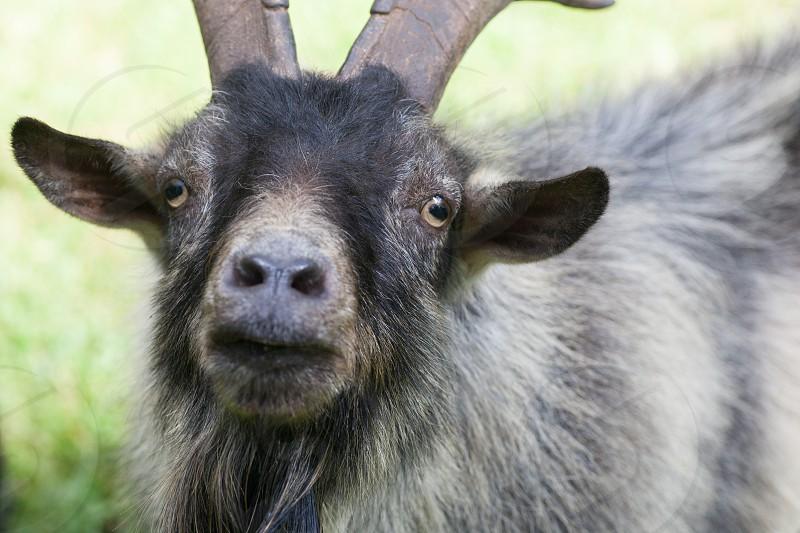 Billy Goat photo