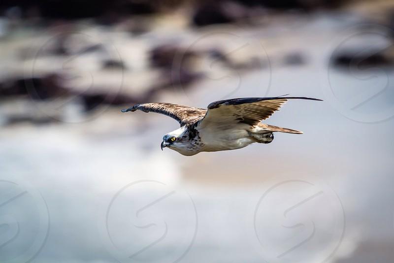 Osprey eagle inspirational quotes majestic bird of prey photo