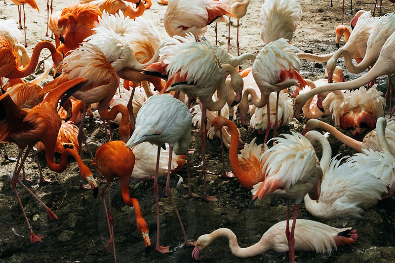 Flamingos looking chaotic while eating photo